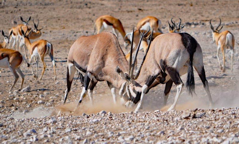 Fighting gemsbok royalty free stock image