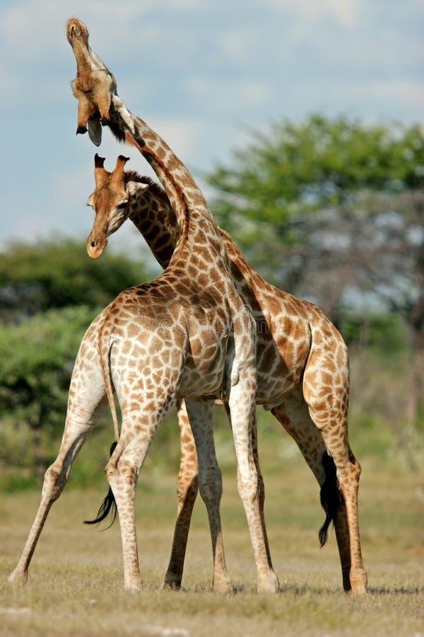 Fighting giraffes, Etosha National Park, Namibia royalty free stock image