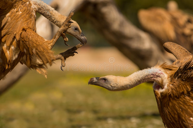 Fighting Griffon vultures stock images