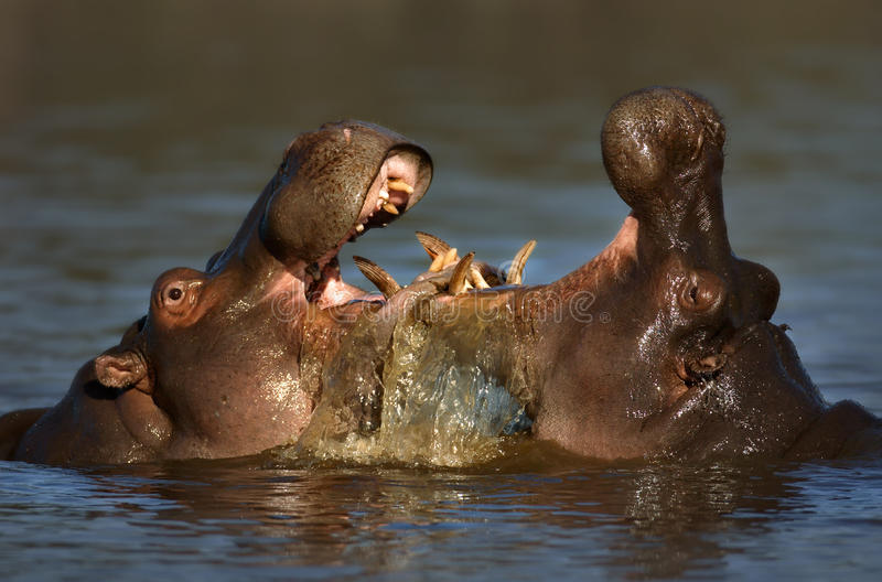 Fighting Hippo's royalty free stock images