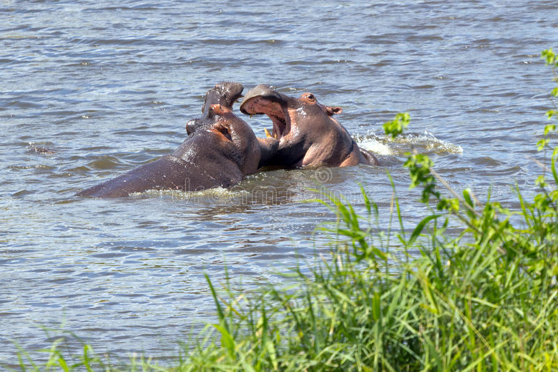 Fighting hippopotami stock images
