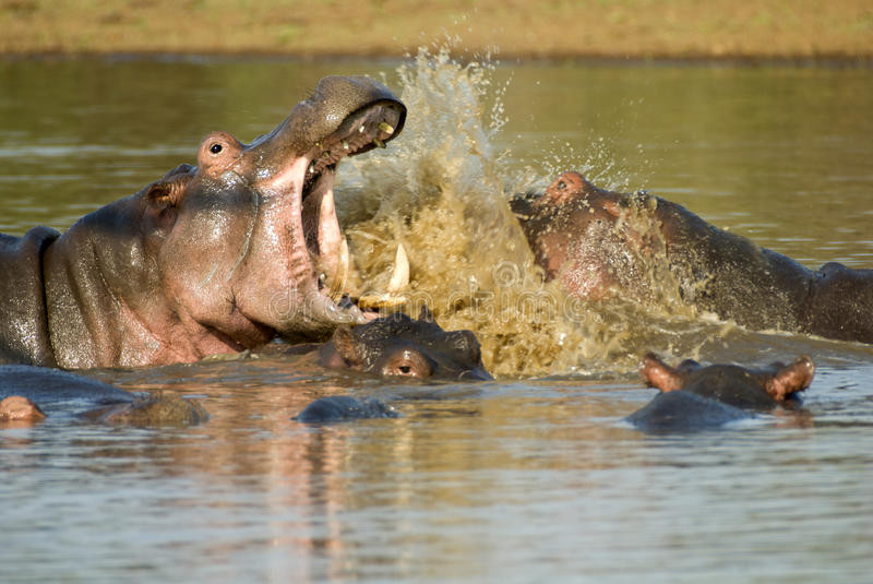 Fighting hippos. Hippos fighting in a river royalty free stock photos