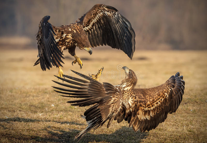 Fighting juvenile sea eagles. White tailed eagles fighting over food