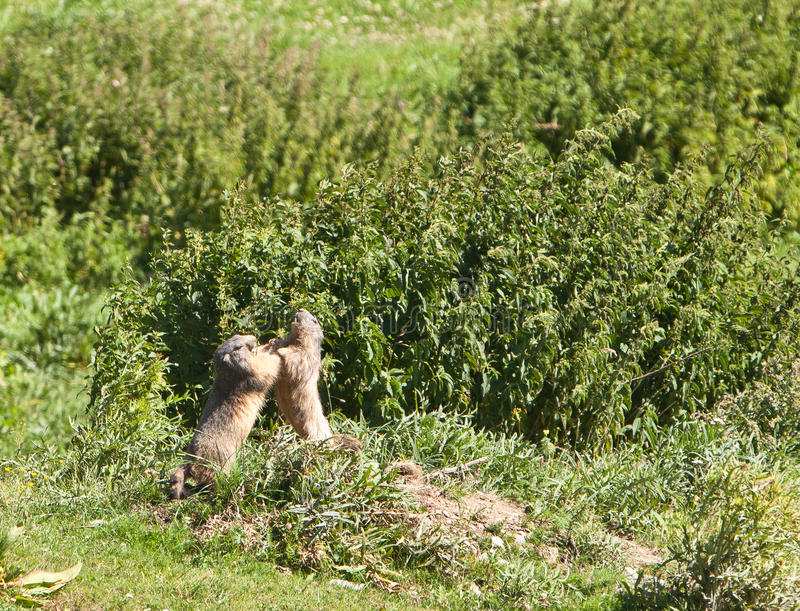 Fighting Marmots. Two alpine Marmots (Marmota marmota) engage in a fierce fight to settle territorial claims at their alpine meadows of the ligurian alps stock photos