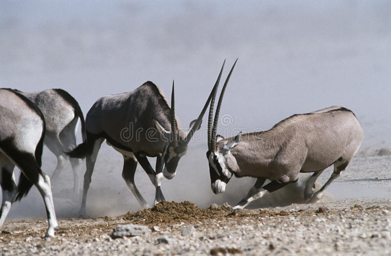 Fighting Namibias Etosha Pan Gemsbok lizenzfreie stockfotografie
