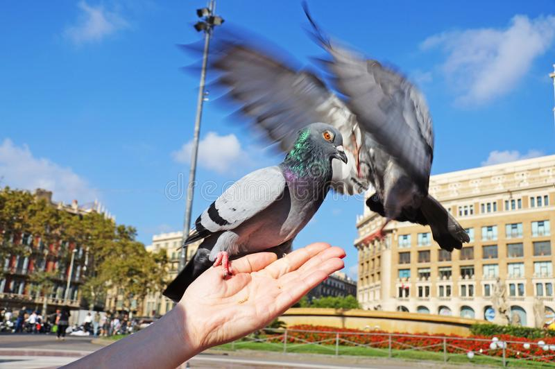 Fighting pigeons. The dove sits on a woman`s hand. stock photography