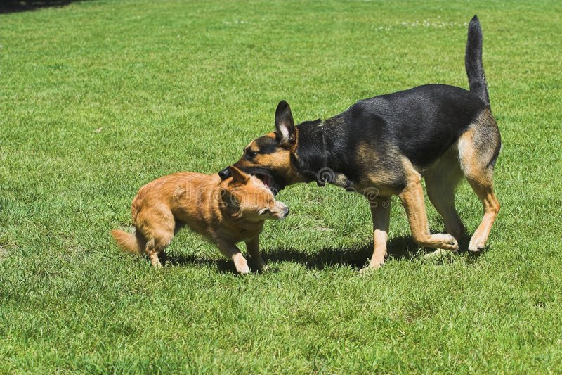 Fighting/playing dogs royalty free stock photo