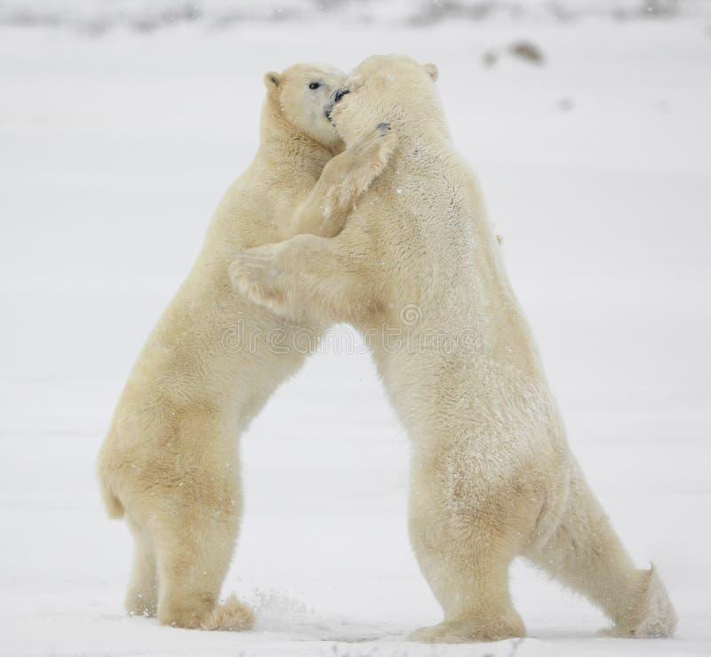 Fighting polar bears. royalty free stock photos