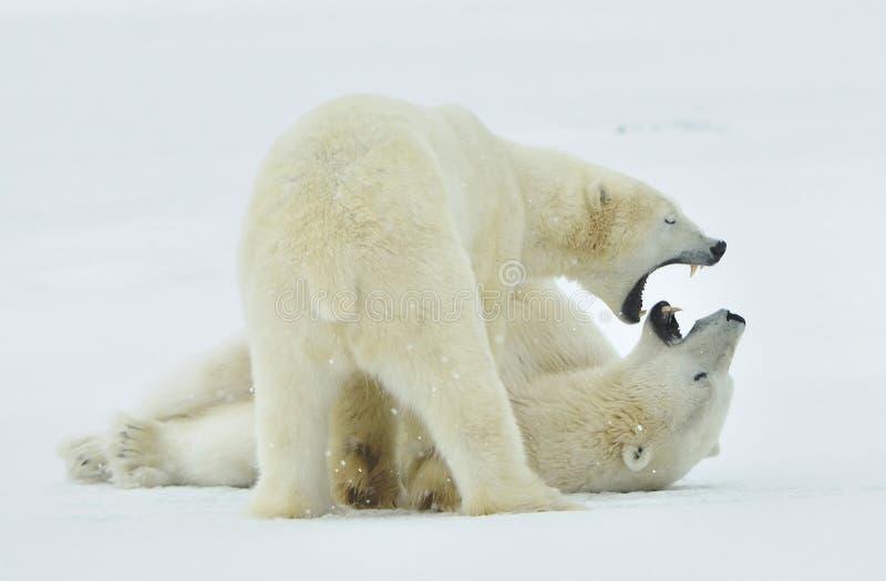 Fighting Polar bears (Ursus maritimus ) on the snow. stock photos