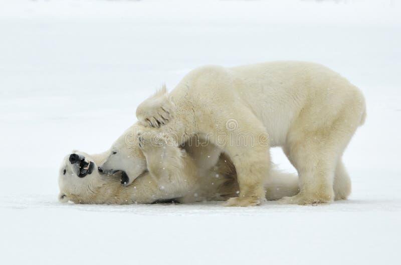 Fighting Polar bears (Ursus maritimus ) on the snow. Arctic tundra royalty free stock image