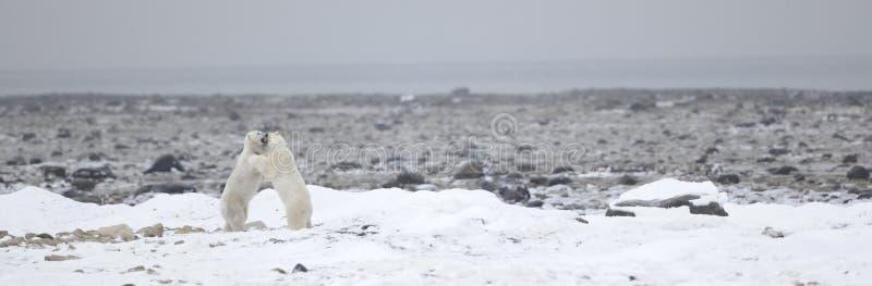 Fighting Polar bears (Ursus maritimus ) on the snow. Arctic tundra royalty free stock photo
