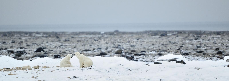 Fighting Polar bears (Ursus maritimus ) on the snow. Arctic tundra royalty free stock images