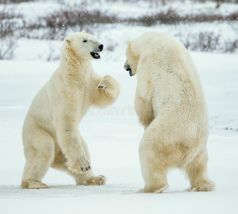Fighting Polar bears (Ursus maritimus ) on the snow. royalty free stock photos