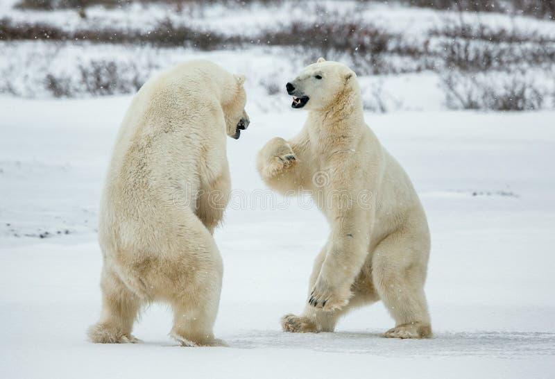 Fighting Polar bears (Ursus maritimus ) on the snow. Arctic tundra. Two polar bears play fighting. Polar bears fighting on snow h stock photos
