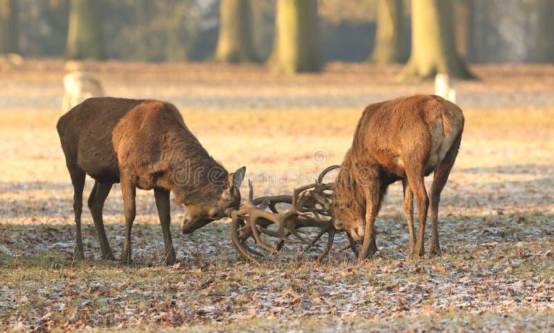 Fighting Red Deer Cervus elaphus on a cold frosty winter morning. Two fighting Red Deer Cervus elaphus on a cold frosty winter morning royalty free stock images