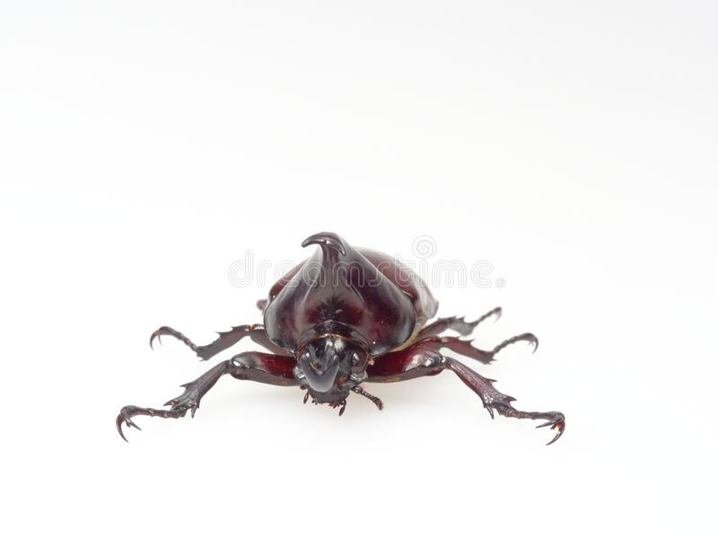 Fighting or rhinoceros beetle isolated on white background royalty free stock photo