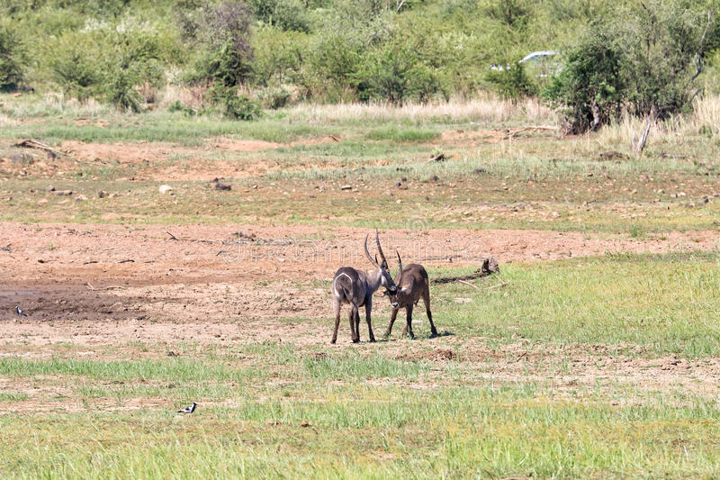 Fighting sable antelopes. Two sable antelopes fighting together in south africa stock photo