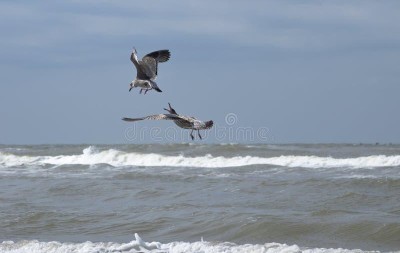 Fighting seagulls. Fighting, flying seagulls over the ocean of Zandvoort, Netherlands stock photos