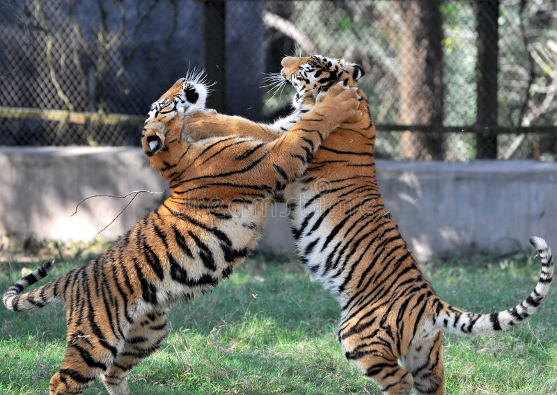 Fighting tigers stock image