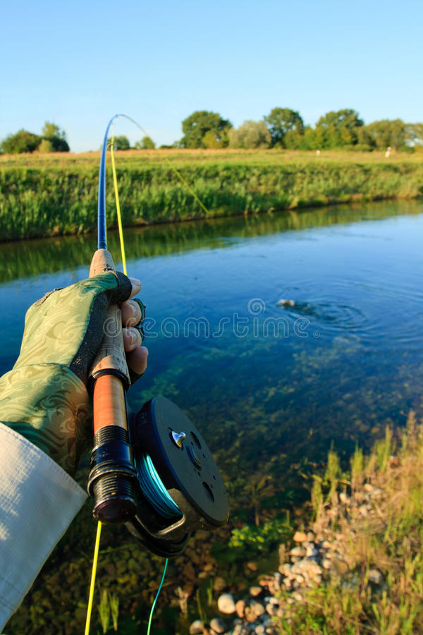 Download Fighting trout stock photo. Image of catch, caought, bend - 27811778