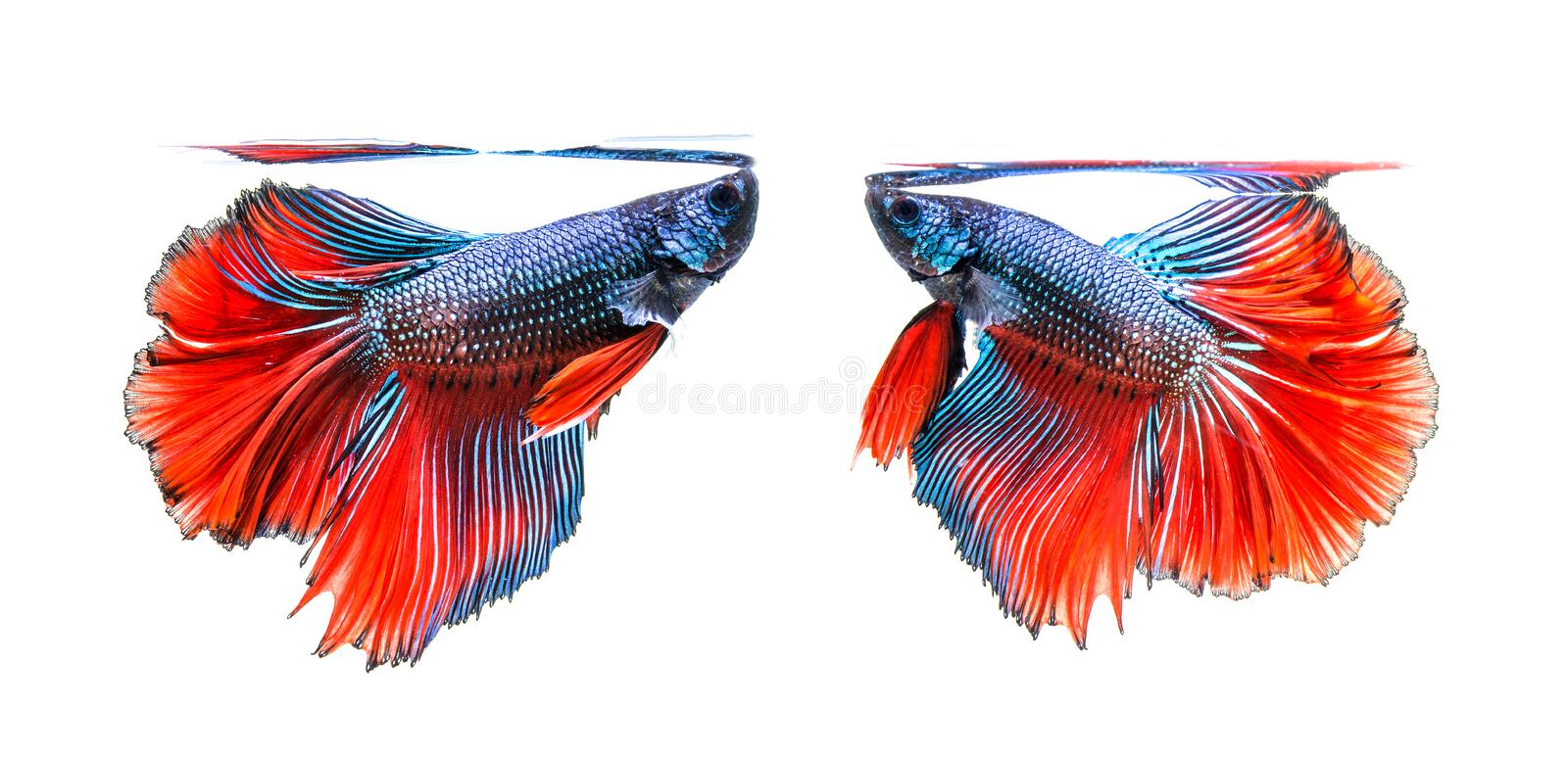 Fighting of two fish isolated on white background. siamese fighting fish. royalty free stock photo