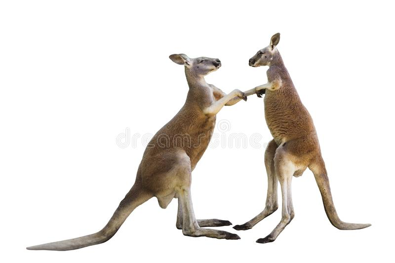 Fighting two red kangaroos on white background stock images