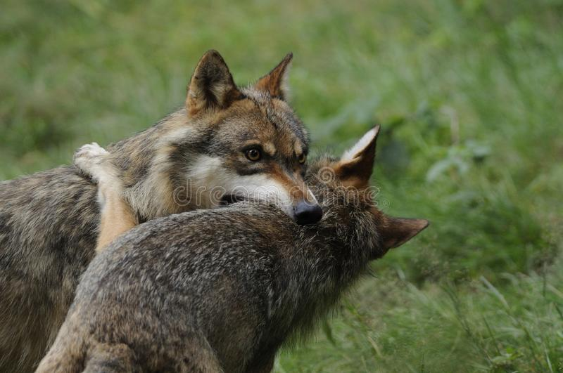 Download Fighting Wolves ( Canis Lupus ) Stock Image - Image: 18536425