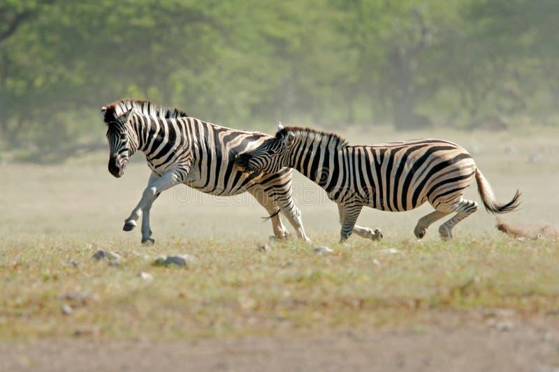Fighting Zebras royalty free stock image