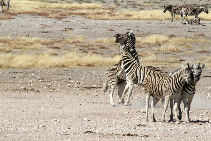 The fighting Zebras in Namibia royalty free stock image
