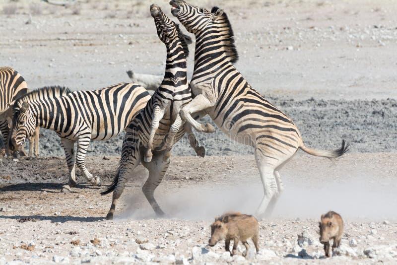 Fighting Zebras royalty free stock photos