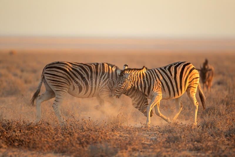Fighting Zebras stock photography