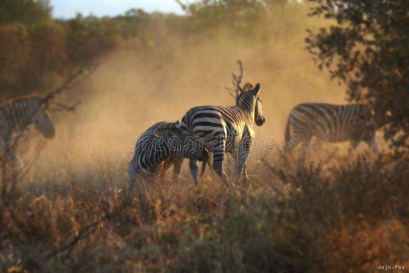 Fighting Zebras stock images