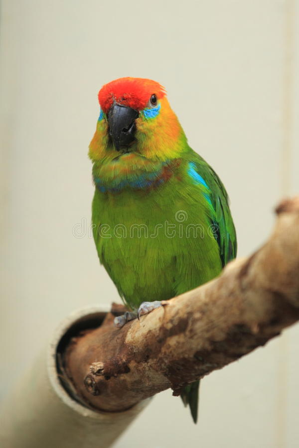 figi ampuły papuga obraz stock