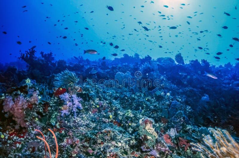 Figi di corallo subacquee della parete fotografie stock