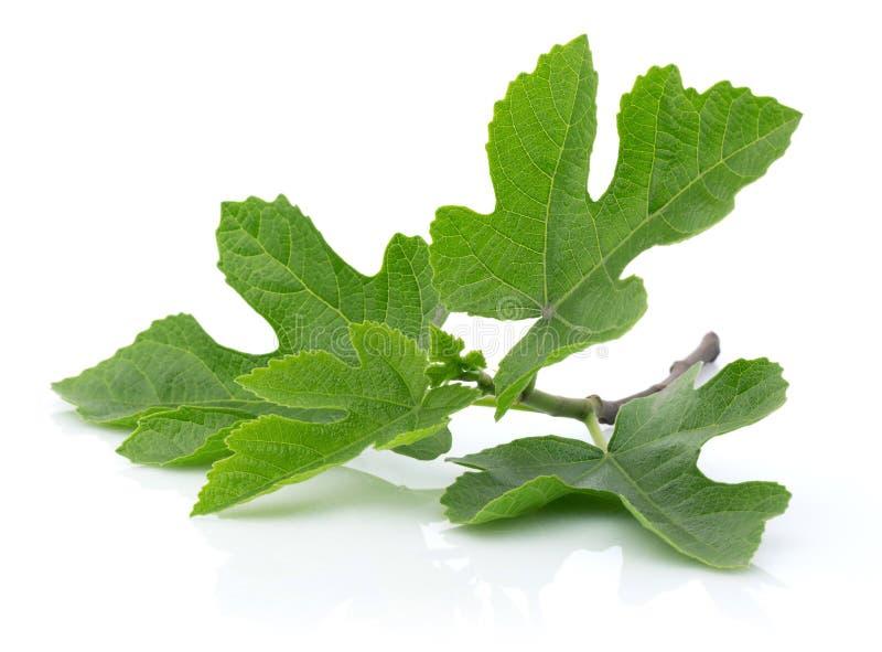 Figi drzewa liście odizolowywający na bielu zdjęcie royalty free