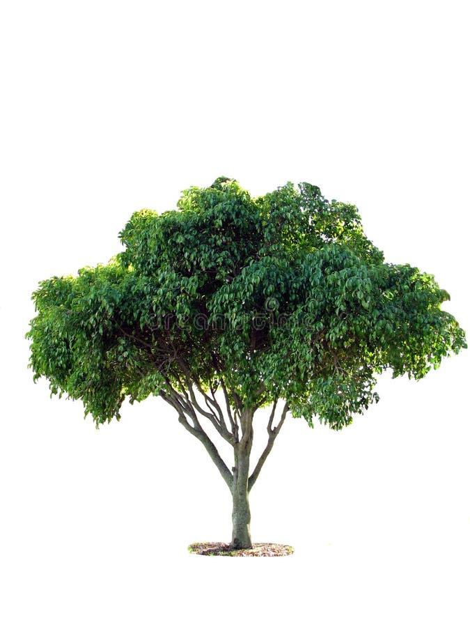 figi drzewa potomstwa fotografia stock