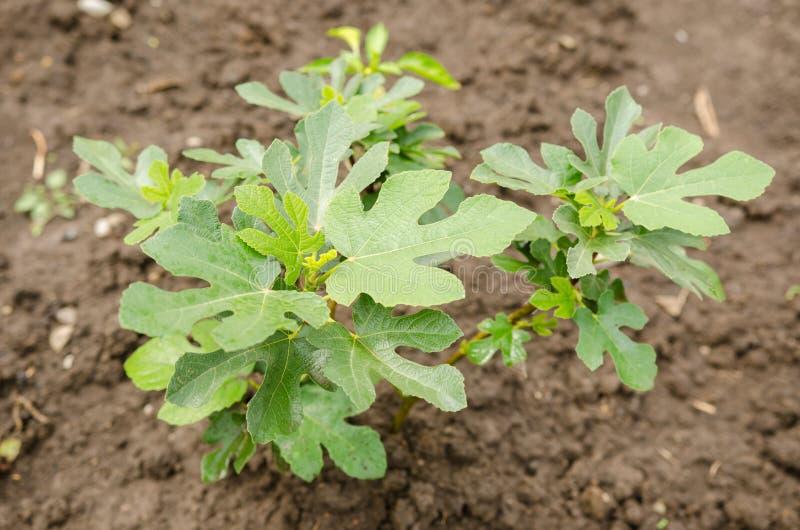 figi drzewa potomstwa zdjęcie royalty free