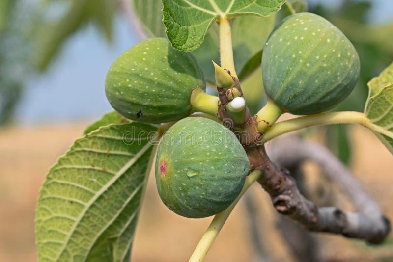 Figi drzewo zdjęcia royalty free