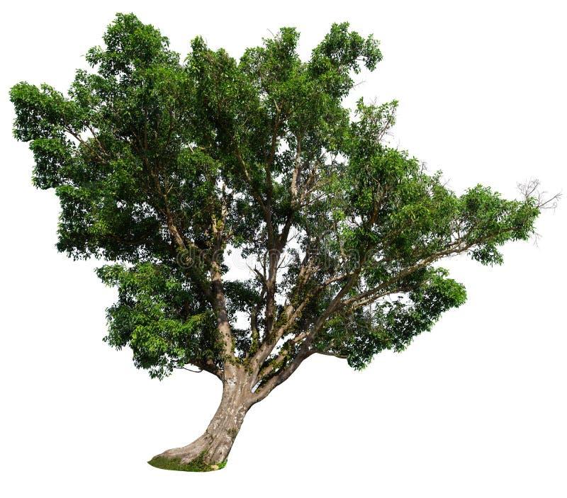 Figi drzewo na białym tle, figi drzewo odizolowywający na bielu fotografia royalty free