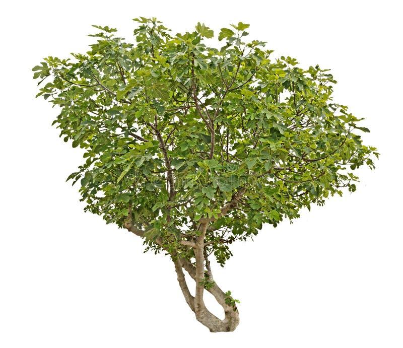 Figi drzewo na bielu obrazy stock