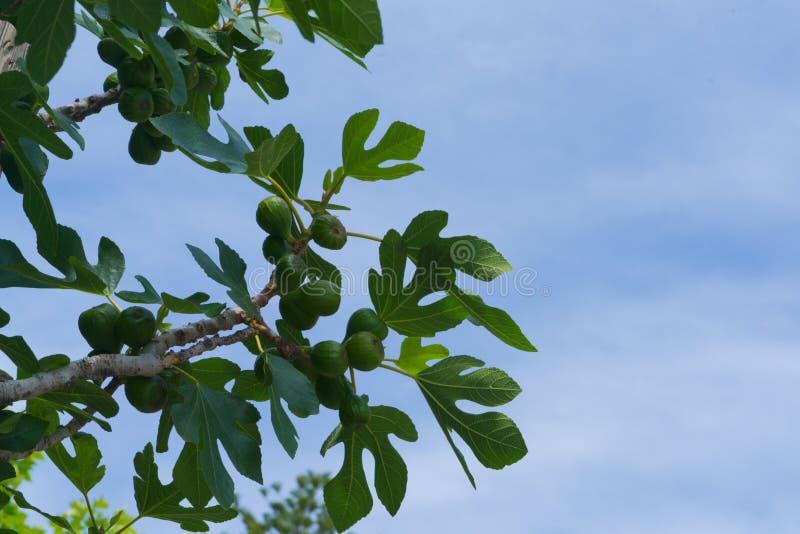 Figi drzewo pod niebieskim niebem obrazy royalty free
