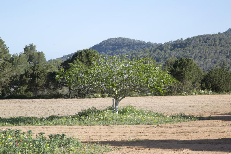 Figi drzewo w Ibiza obraz stock