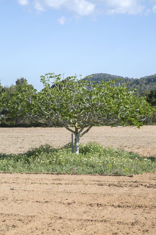 Figi drzewo w Ibiza zdjęcia stock