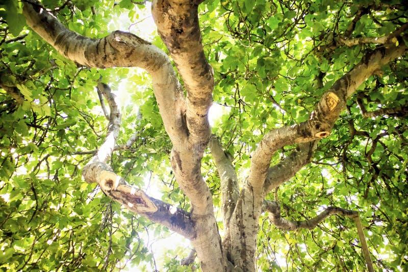 Figi drzewo w roślinności fotografia stock