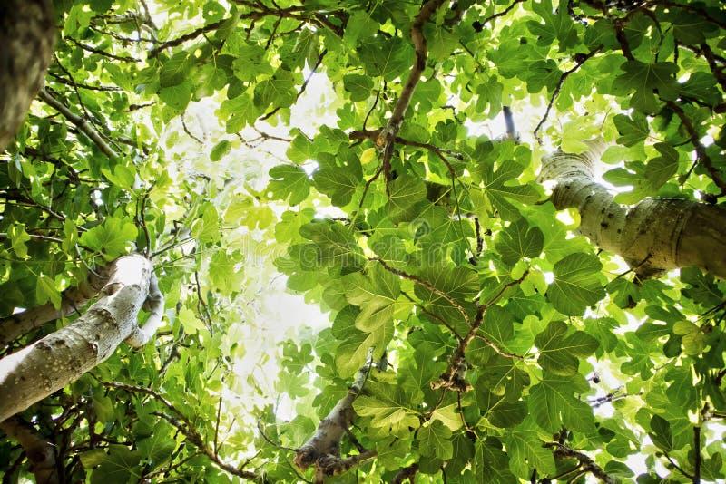 Figi drzewo w roślinności obrazy royalty free
