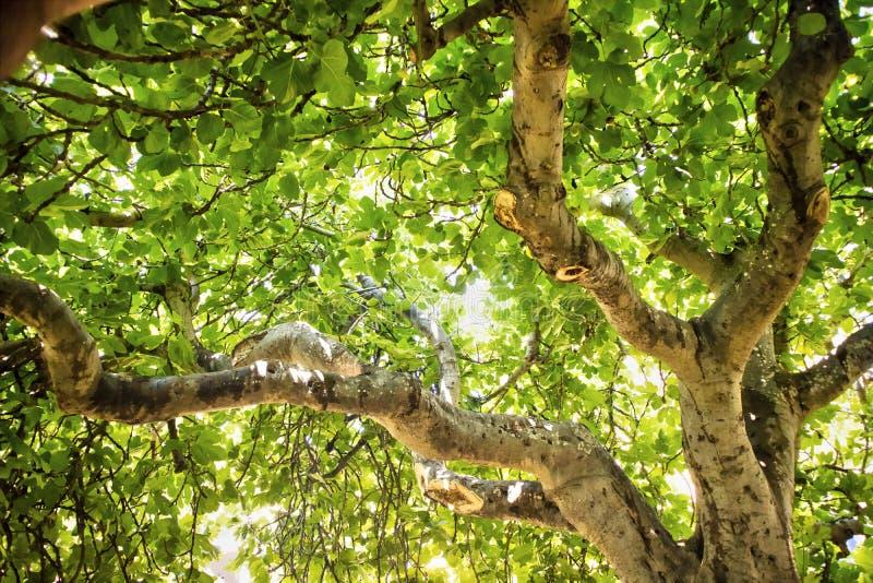Figi drzewo w roślinności obraz stock