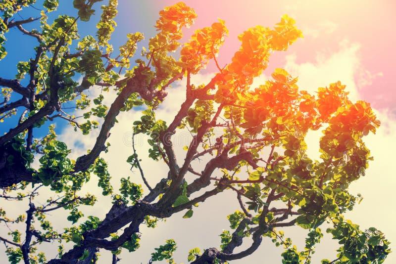 Figi drzewo w wiośnie przeciw niebu obrazy stock