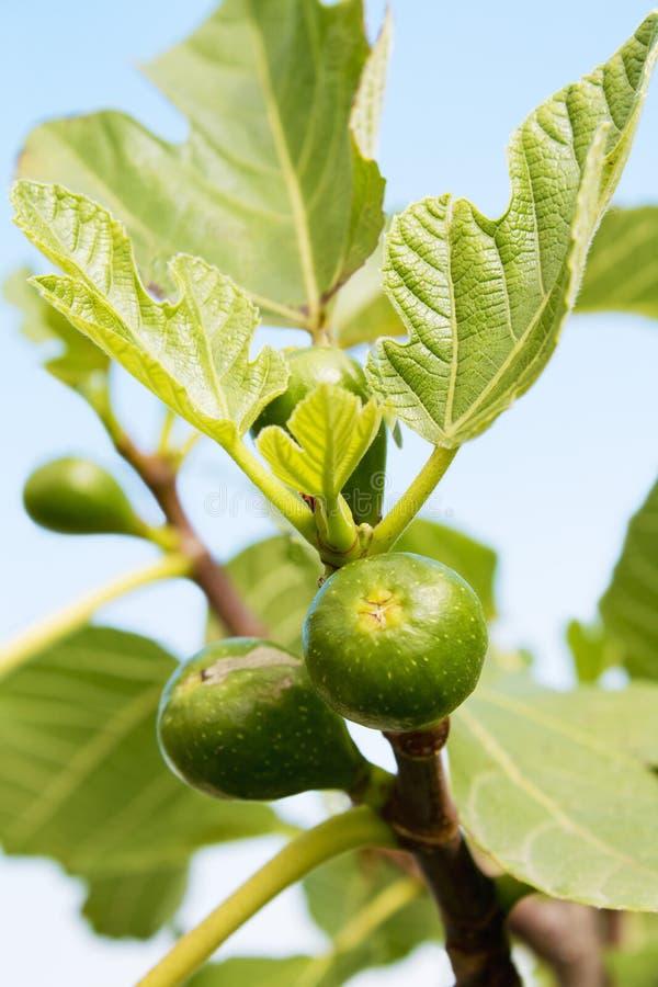 Figi drzewo z niedojrzałymi figami, zamyka up zdjęcie stock