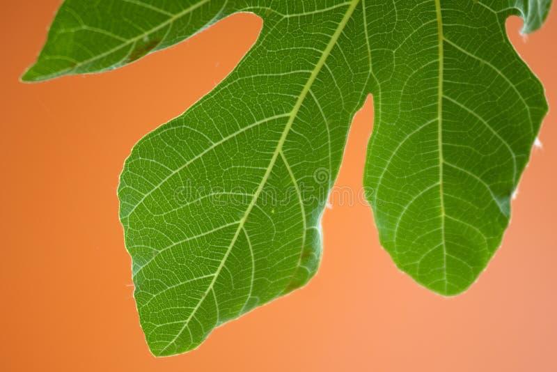 figi liść drzewo obrazy royalty free