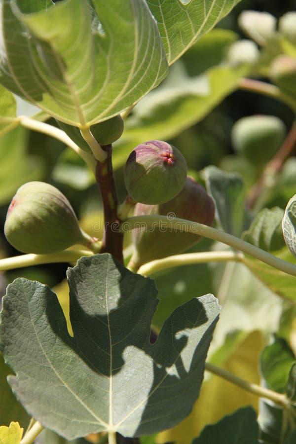 Figi na drzewie obrazy royalty free